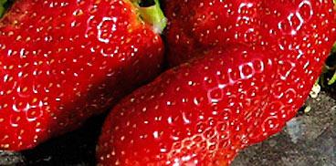 Innovazione varietale in fragolicoltura