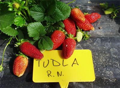 Varietà Tudla