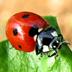 Coccinella, insetto dell'ordine dei Coleotteri