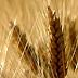 Orientamento varietale per grano duro e cereali alternativi