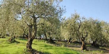 Calendario Trattamenti Olivo Puglia.Sardegna Agricoltura Olivicoltura Programma Di Assistenza