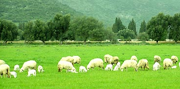 Sardegna agricoltura ovini e caprini buone pratiche di - La pagina della colorazione delle pecore smarrite ...