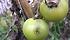 Tignola del pomodoro (Tuta absoluta): danni alla produzione