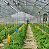 Coltivazione di pomodoro in serra