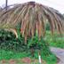 Punteruolo rosso della palma, Rhynchophorus ferrugineus (Olivier): classica