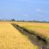 Prova dimostrativa di coltivazione di riso