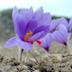 Fiore di zafferano