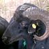 Pecora nera di Arbus