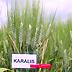Frumento varietà Karalis