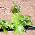 Viticoltura, irrigazione