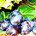 Susino, varietà Nera sarda