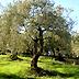 Concorso regionale di potatura dell'olivo