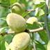 Mandorlo, varietà Arrubia